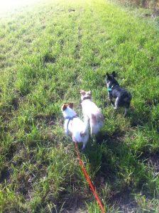 Drei-Hunde-Spaziergang