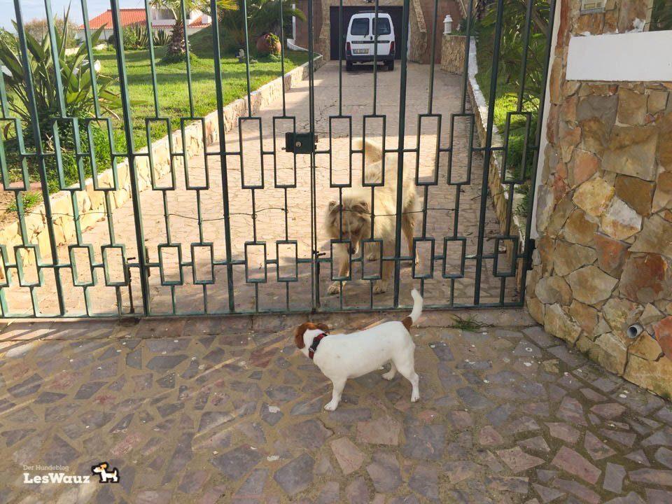 Pixie-Nachbarhund-Port